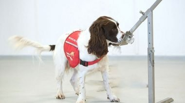 Covid detection dogs are an actual thing!